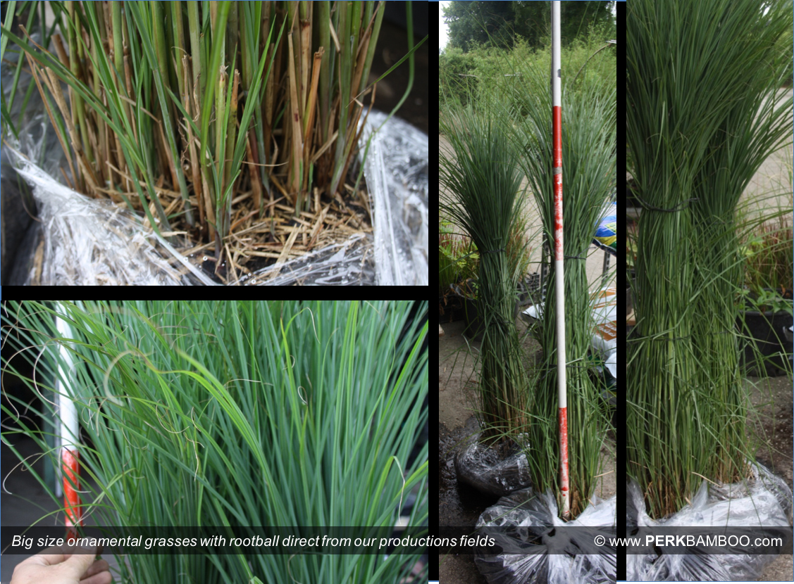 Big size ornamental grasses with rootball direct from our productions fields