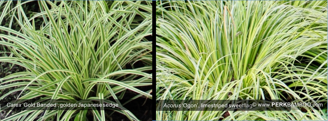 Carex Gold Banded golden Japanese sedge and Acorus Ogon lime green striped sweet flag