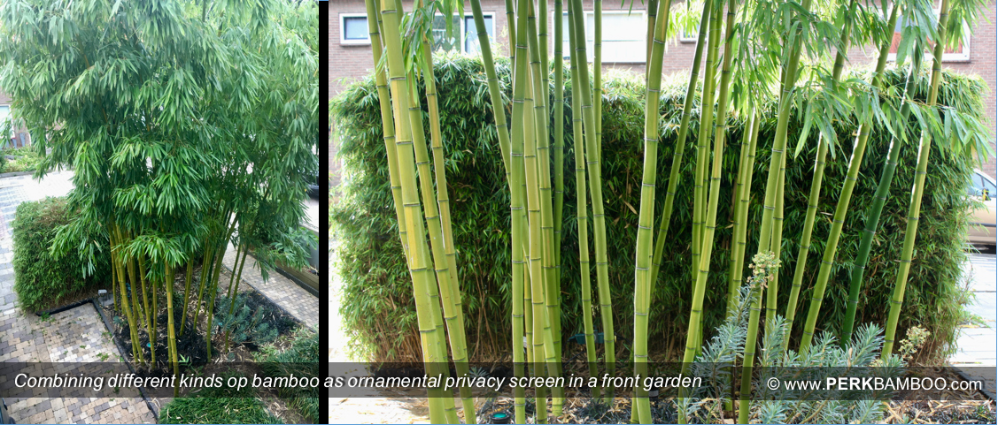 Combining different kinds of bamboo as ornamental privacy screen in a front garden