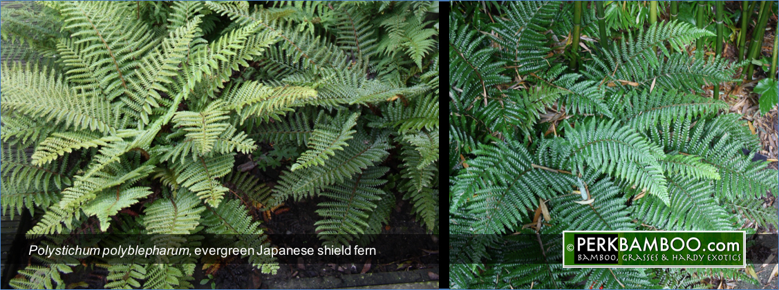 Polystichum polyblepharum evergreen Japanese shield fern