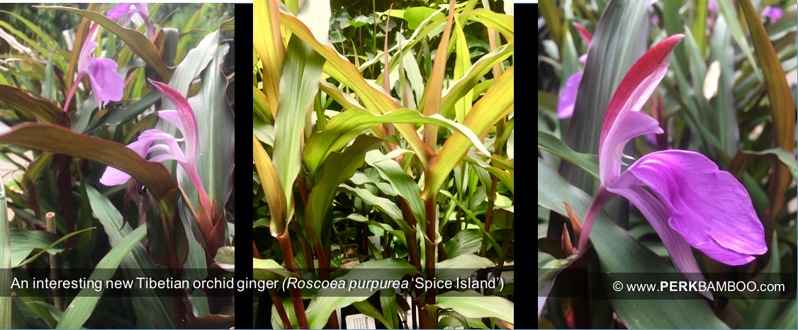 An interesting new Tibetian orchid ginger Roscoea purpurea Spice Island