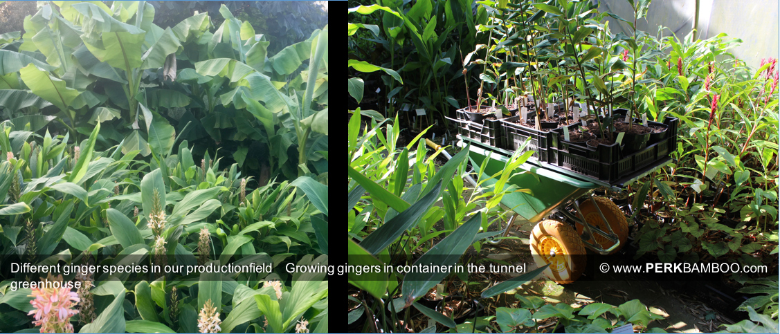 Different ginger species in our productionfield/Growing gingers in container in the tunnel greenhouse