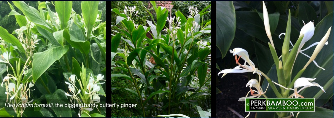 Hedychium forrestii the biggest hardy butterfly ginger