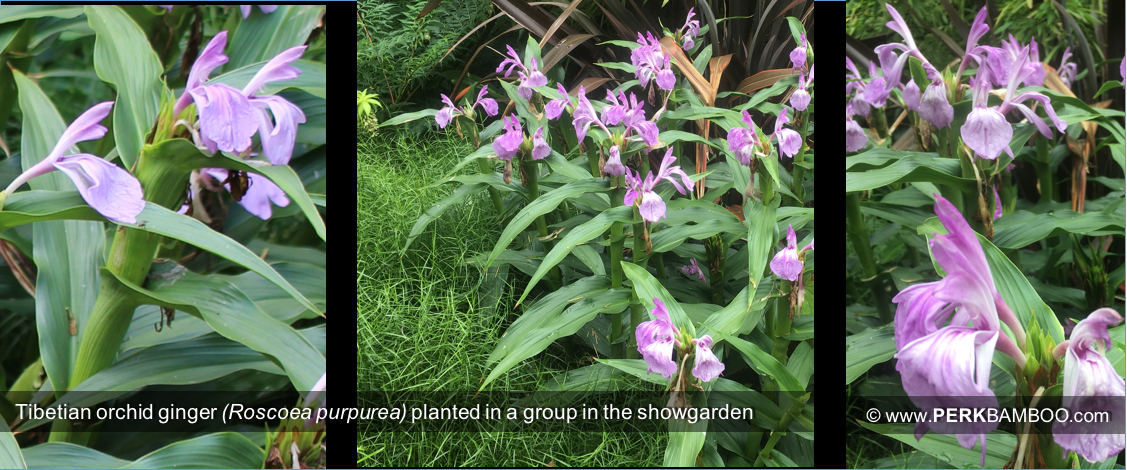 Tibetian orchid ginger Roscoea purpurea planted in a group in the showgarden