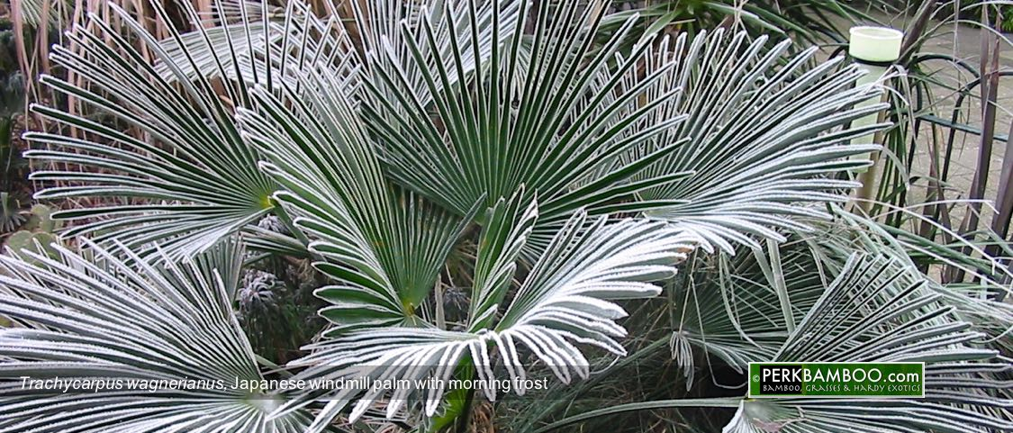 Trachycarpus wagnerianus Japanese windmill palm with morning frost