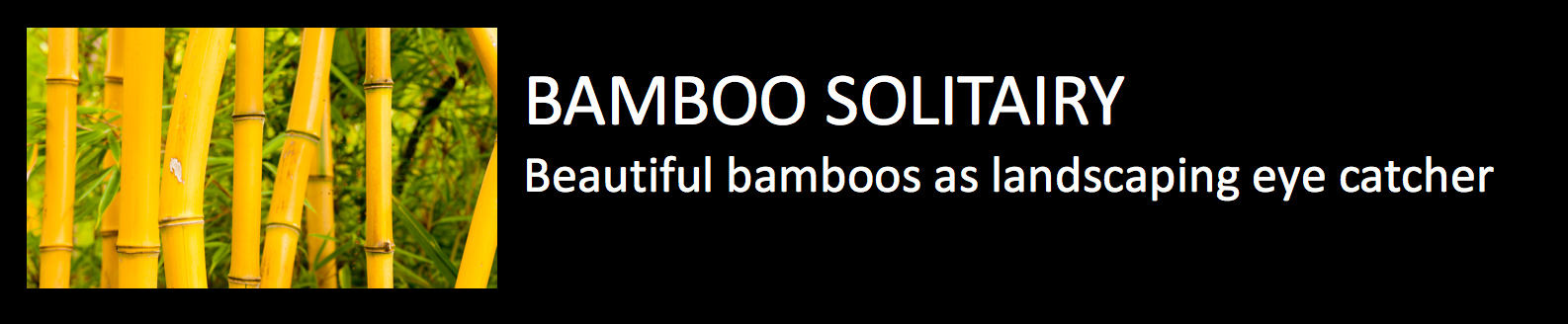 Bamboo solitairy beautiful bamboos as landcaping eye catcher