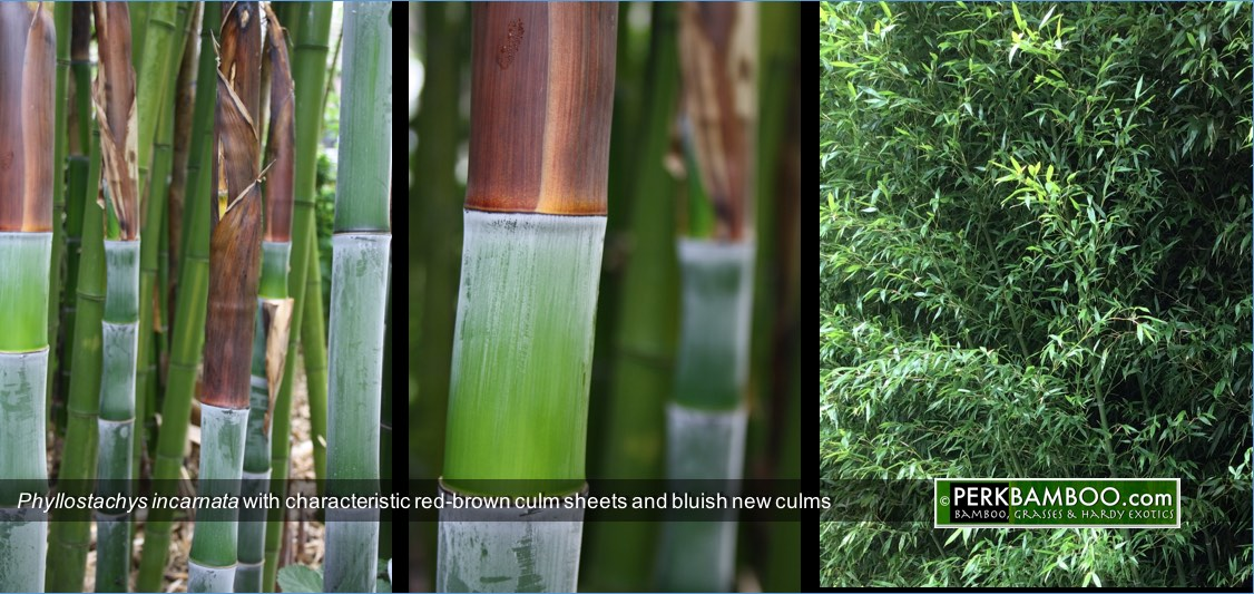 Phyllostachys incarnata with characteristic red brown culm sheets and bluish new culms Copyrights wwwPerkBamboo com