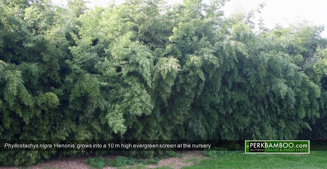 Phyllostachys nigra Henonis grows into a 10 m high evergreen screen at the nursery Copyrights wwwPerkBamboo com