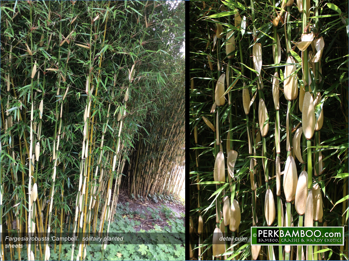 Fargesia robusta Campbell shows its specific white culm sheets during spring and early summer
