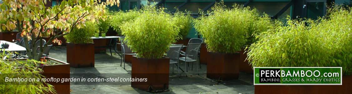 Bamboo on a rooftop garden in corten steel containers