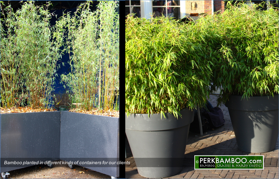 Bamboo planted in different kinds of containers for our clients