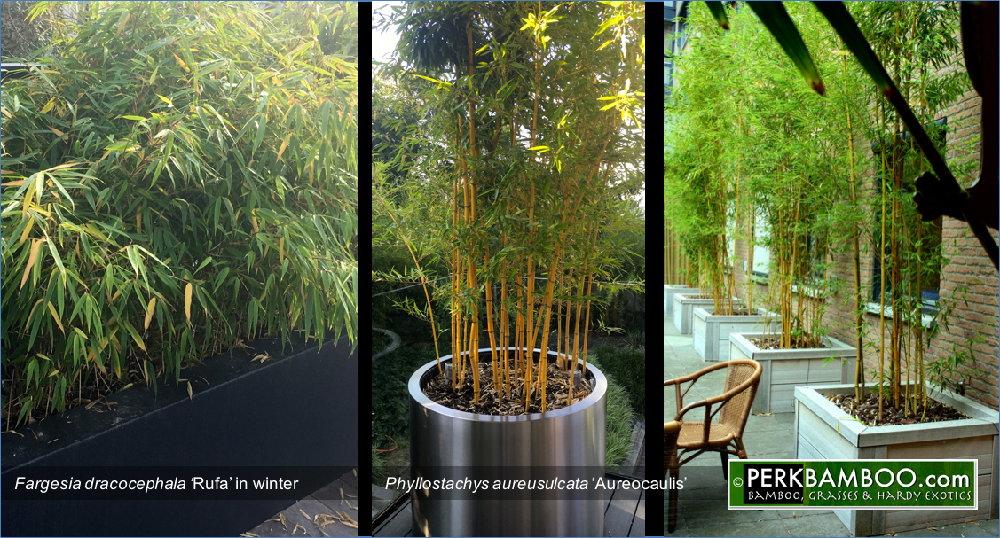Fargesia dracocephala Rufa in winter and Phyllostachys aureosulcata Aureocaulis in round pot
