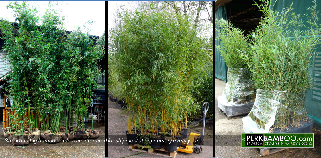 Small and big bamboo orders are prepared for shipment at our nursery every year