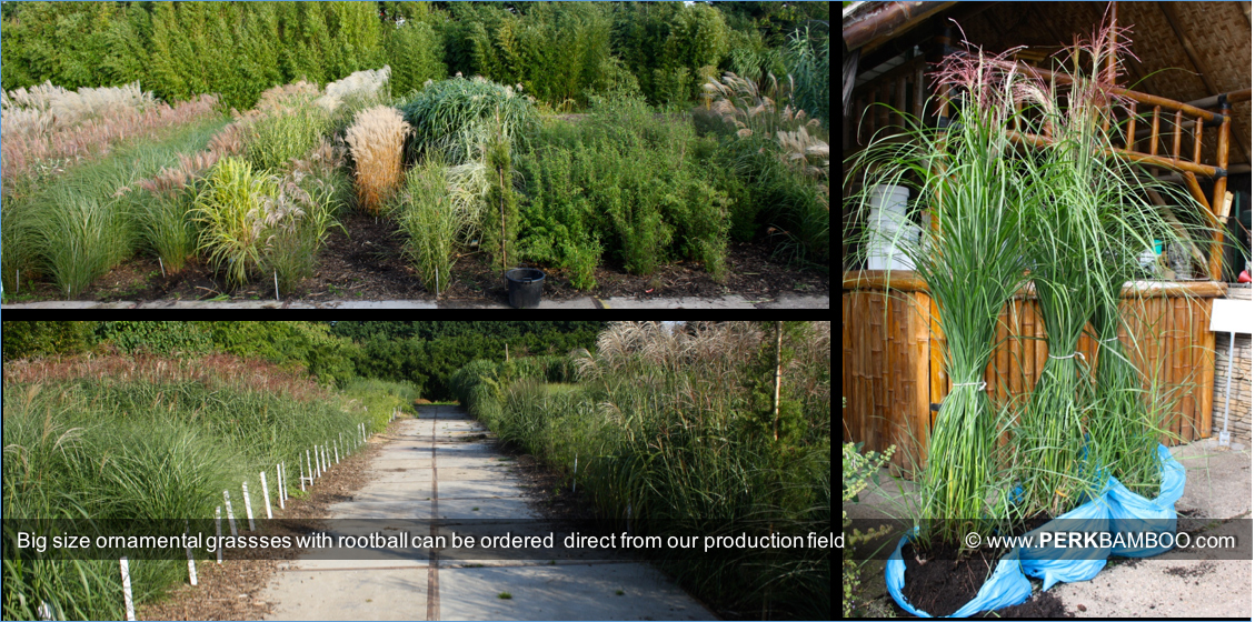 Big size ornamental grassses with rootball can be ordered  direct from our production field