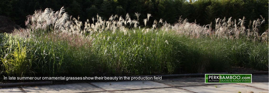 In late summer our ornamental grasses show their beauty in the production field