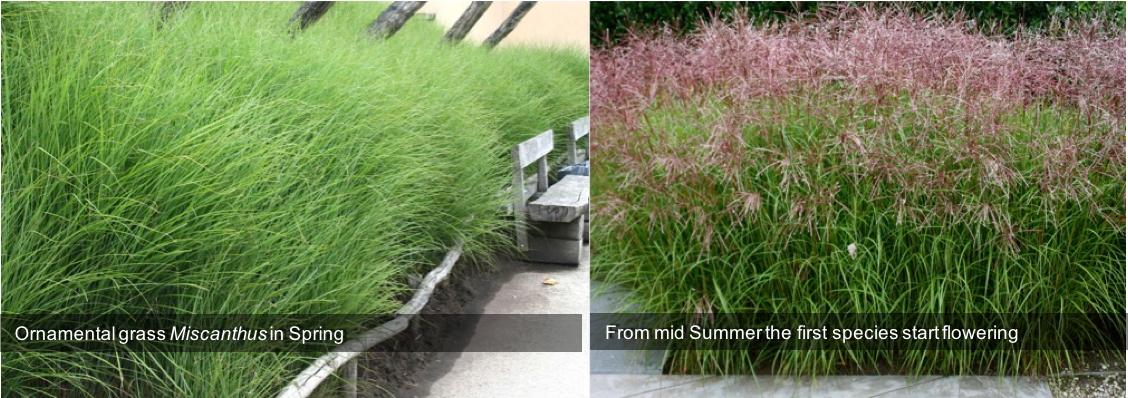 Ornamental grass Miscanthus in Spring from mid Summer the first species start flowering