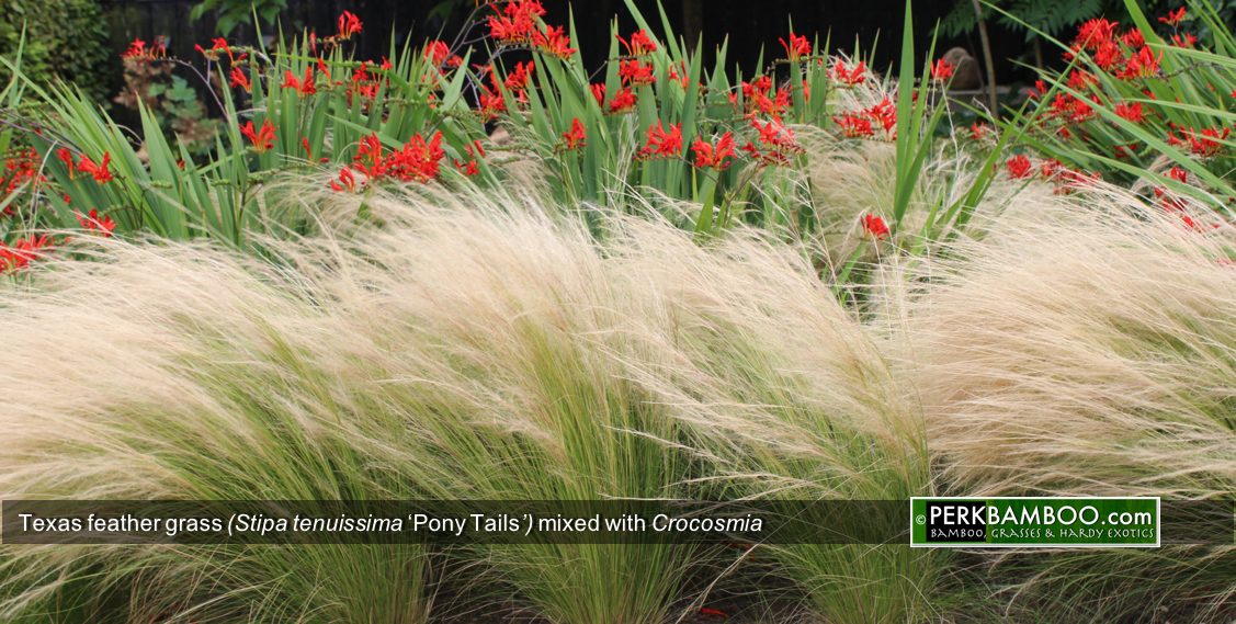 Texas feather grass Stipa tenuissima Pony Tails mixed with Crocosmia www PerkBamboo com