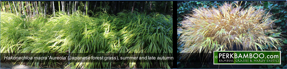 Hakonechloa macra Aureola Japanese forest grass summer and late autumn