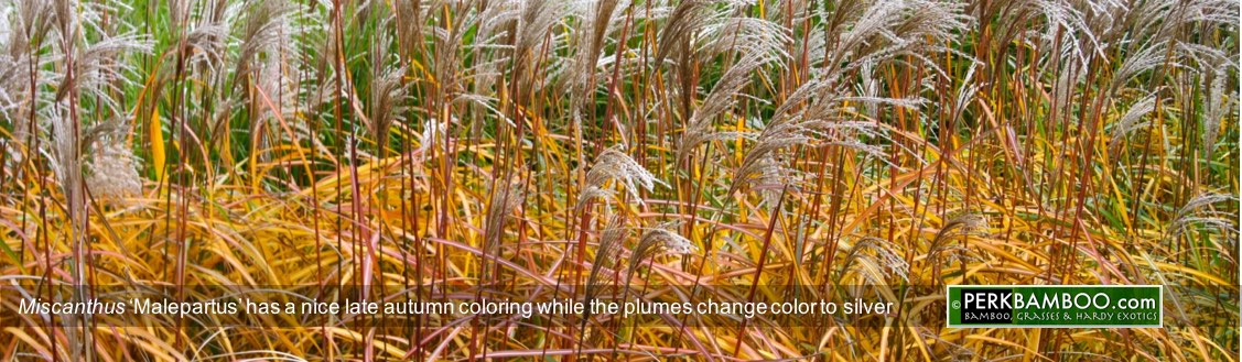 Miscanthus Malepartus has a nice late autumn coloring while the plumes change color to silver Copyrights wwwPerkBamboo com