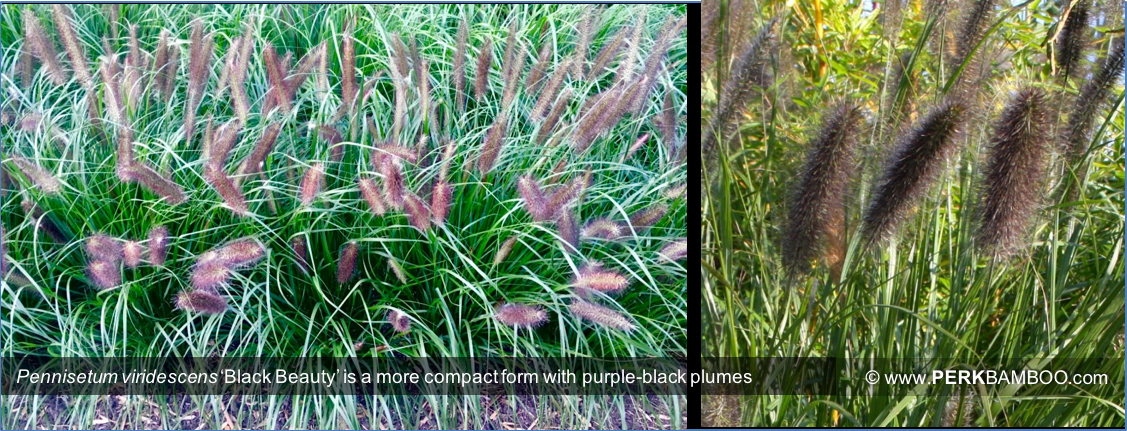 Pennisetum viridescens Black Beauty is a more compact form with purple black plumes