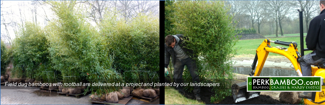 Field dug bamboos with rootball are delivered at a project and planted by our landscapers
