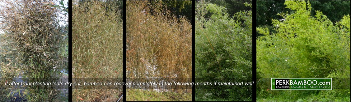 If after transplanting leafs dry out bamboo can recover completely in the following months if maintained well