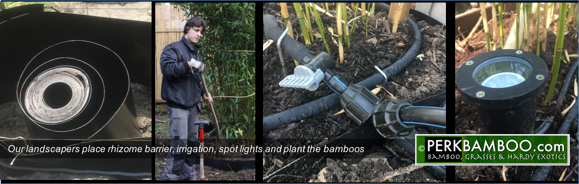 Our landscapers place rhizome barrier irrigation spot lights and plant the bamboos