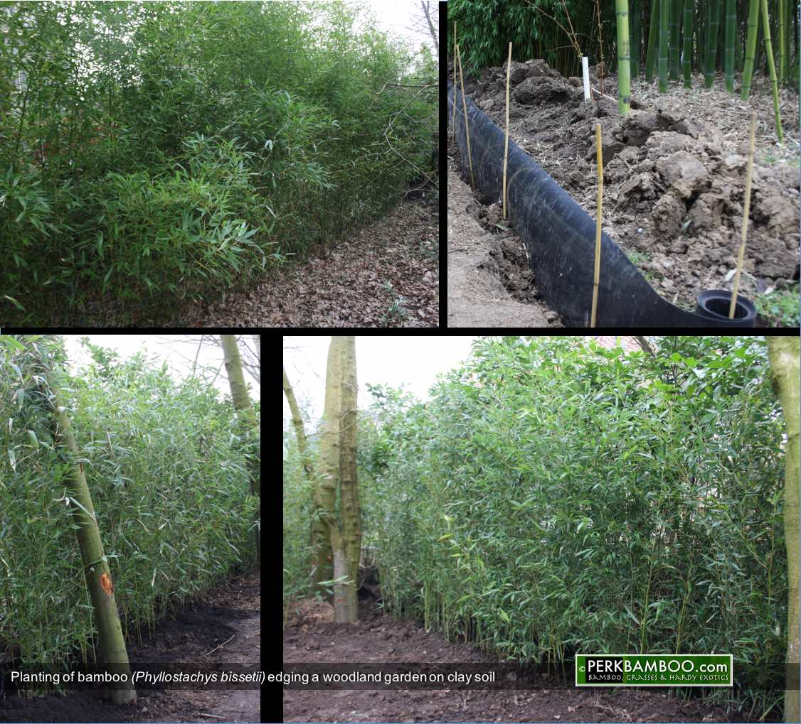 Planting of bamboo Phyllostachys bissetii edging a woodland garden on clay soil