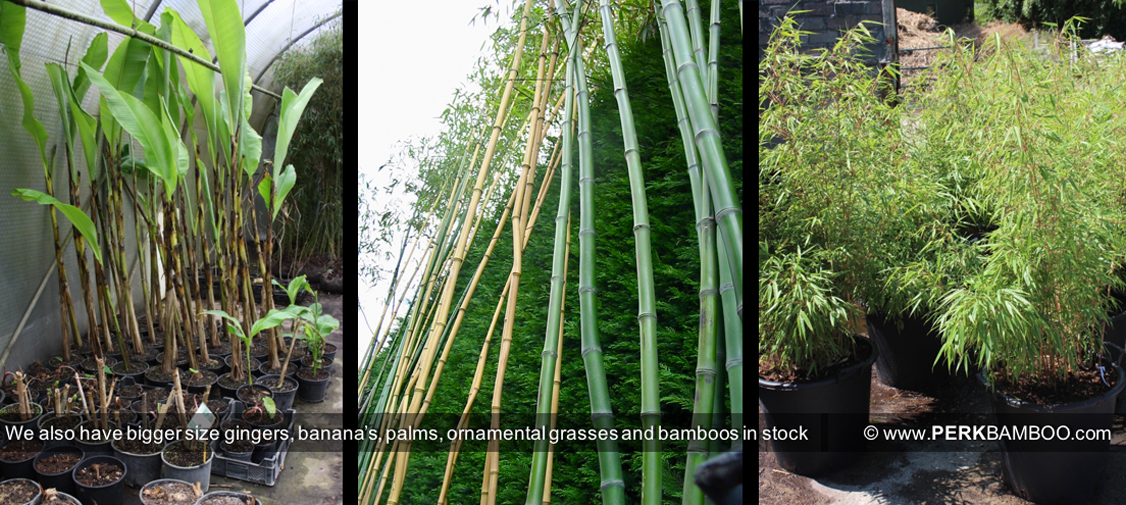 We also have bigger size gingers bananas palms ornamental grasses and bamboos in stock
