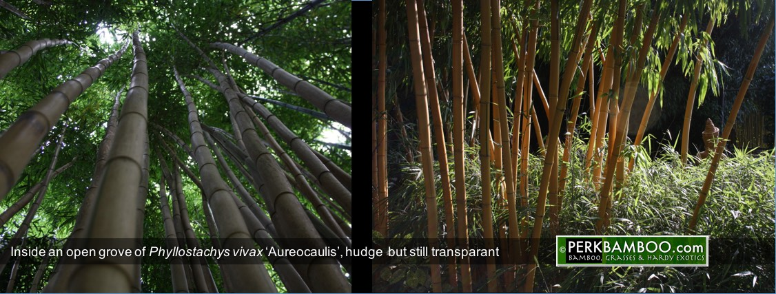Inside an open grove of Phyllostachys vivax Aureocaulis hudge  but still transparant