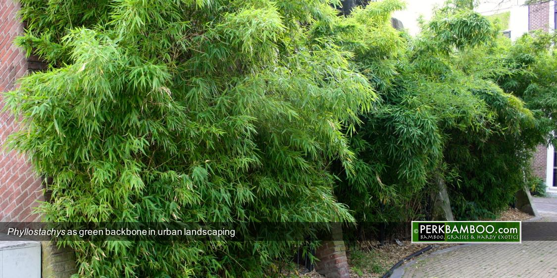 Phyllostachys as green backbone in urban landscaping
