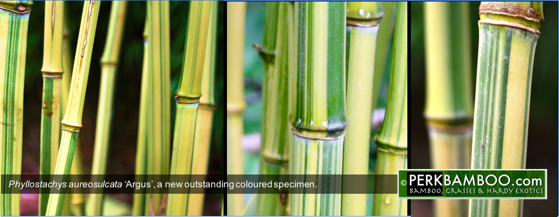 Phyllostachys aureosulcata Argus a new outstanding coloured specimen