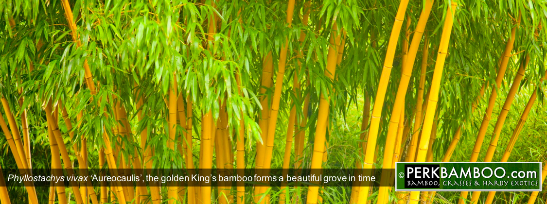 Phyllostachys vivax Aureocaulis the golden Kings bamboo forms a beautiful grove in time